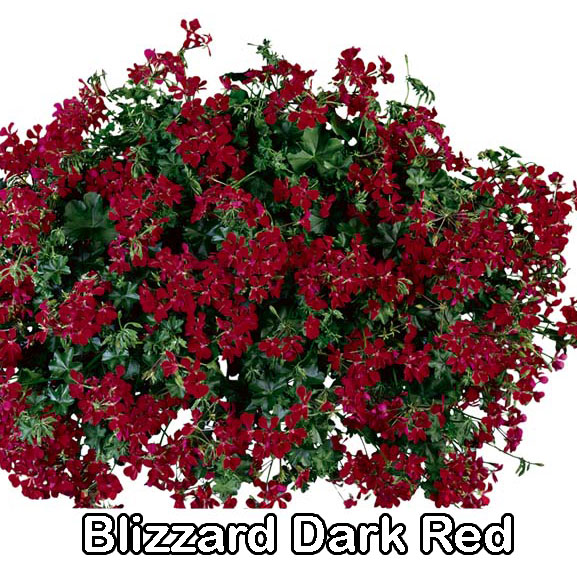 Blizzard Dark Red