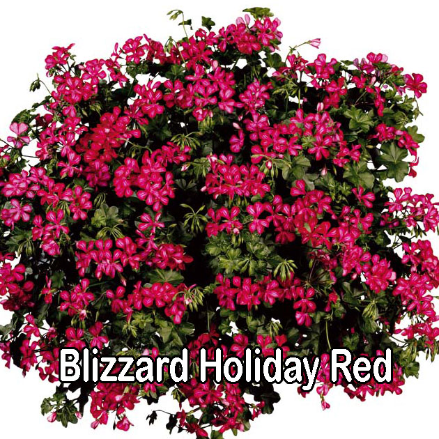 Blizzard Red Bicolour
