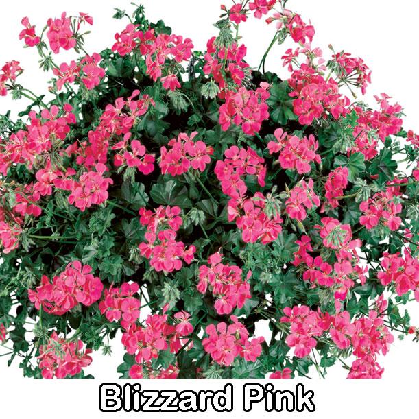 Blizzard Pink