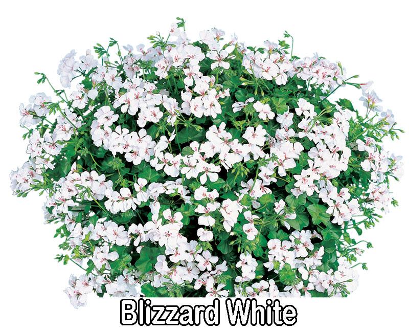 Blizzard White