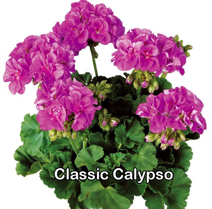 Classic Line Calypso