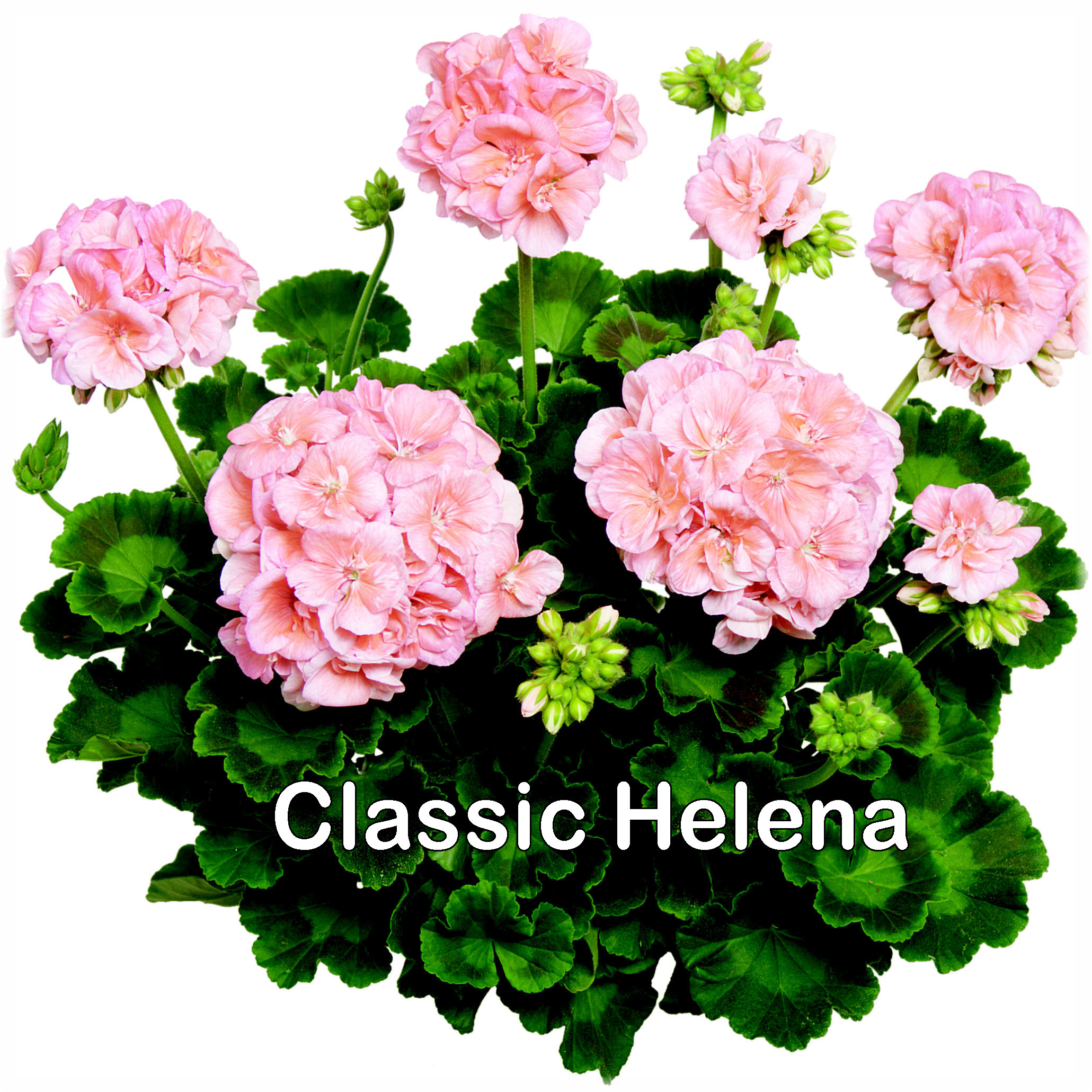 Classic Line Helena