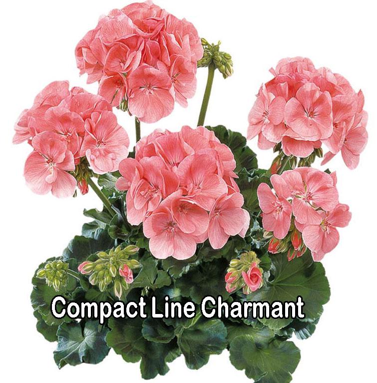 Compact Line Charmant