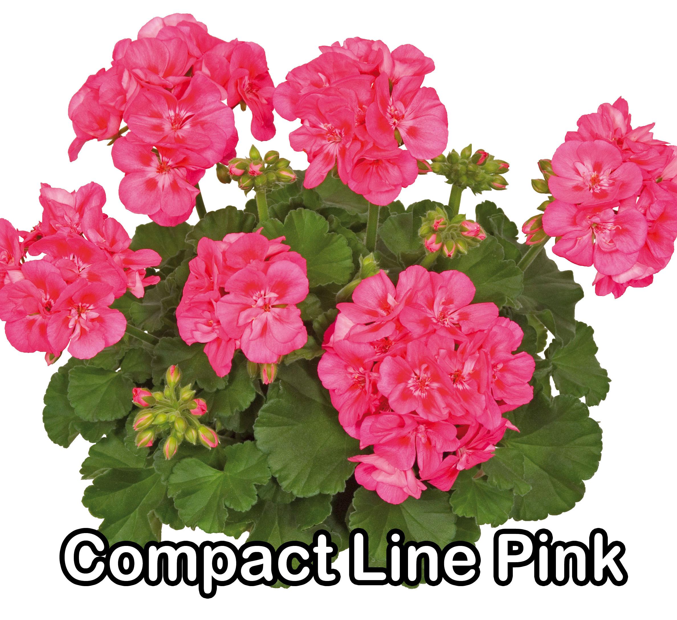 Compact Line Deep Lavender