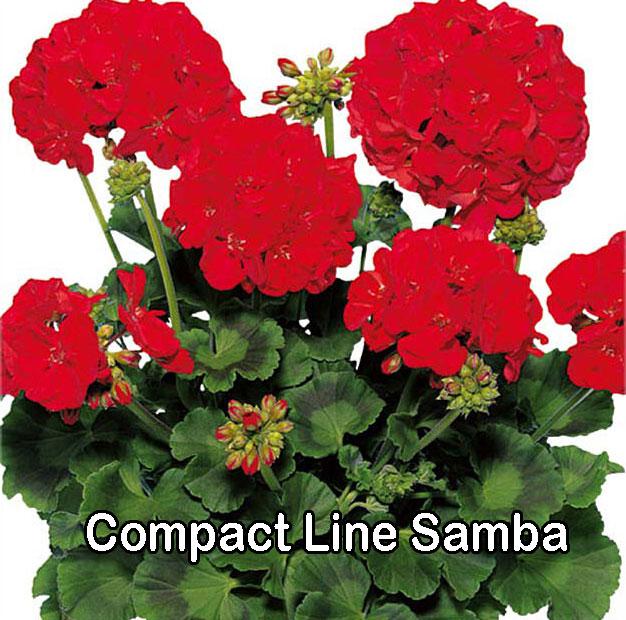 Compact Line Samba
