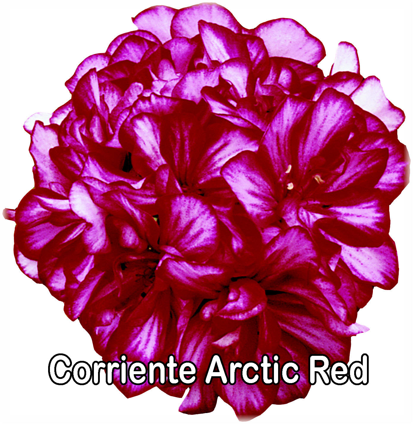 Corriente Arctic Red