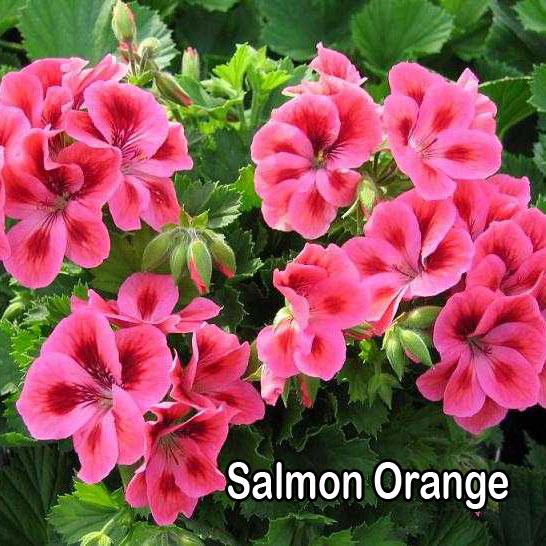 Regalia Salmon Orange