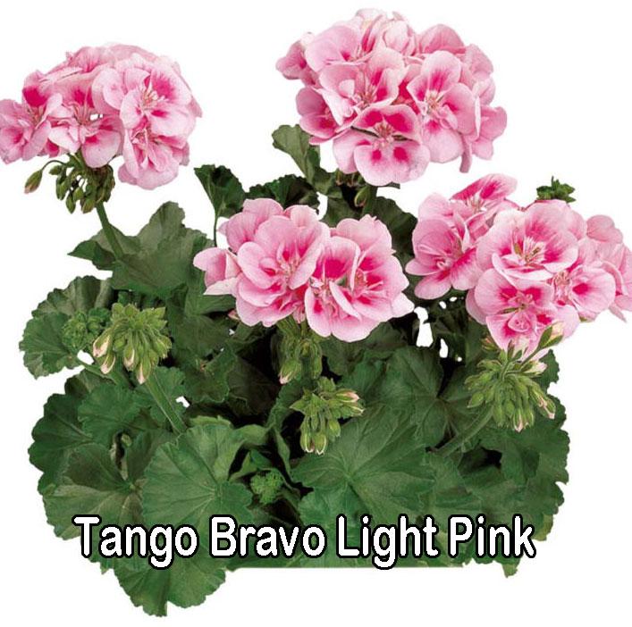 Tango Deep Rose With Eye