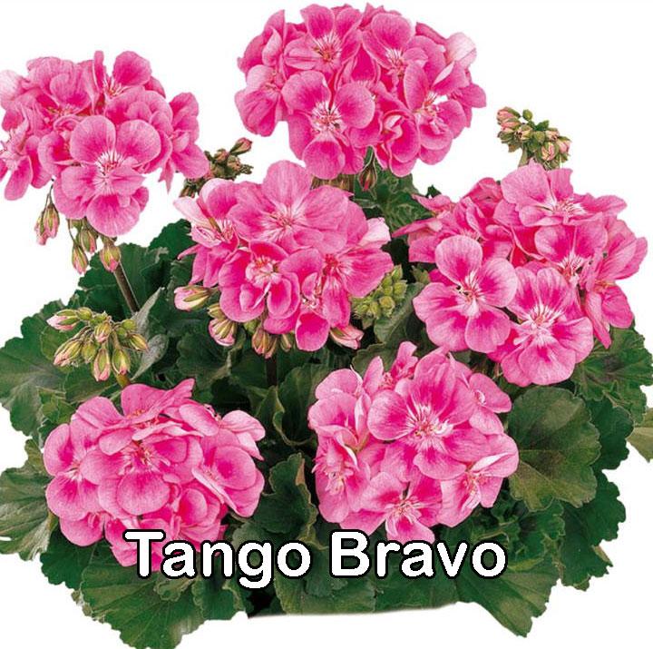Tango Lavender