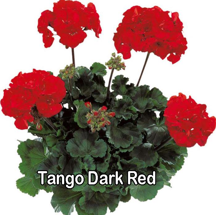 Tango Dark Red