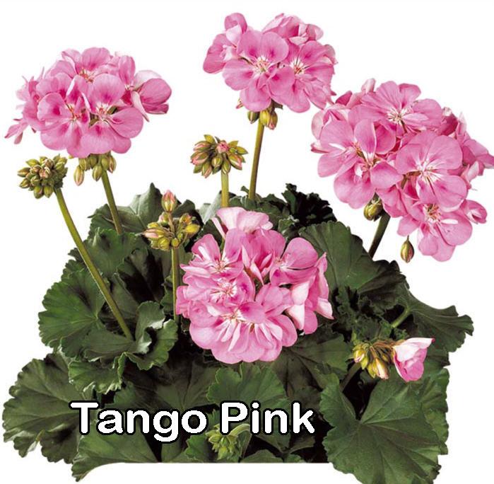 Tango Pink