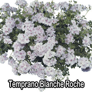 Temprano Blanche Roche