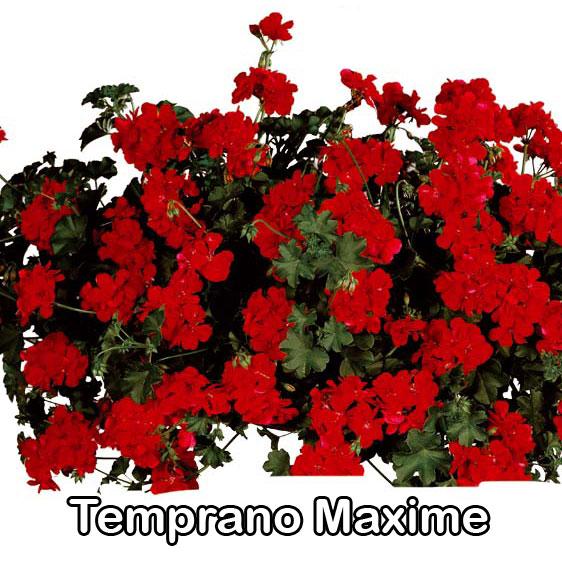 Temprano Maxime