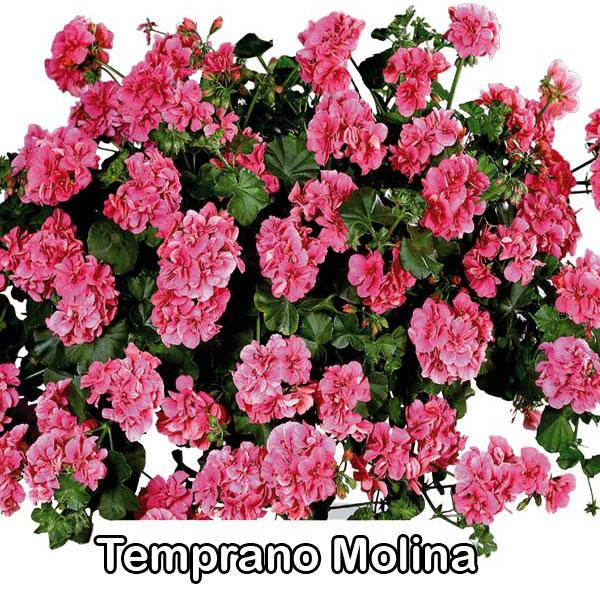 Temprano Pink
