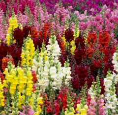 Antirrhinum Sonet Mix