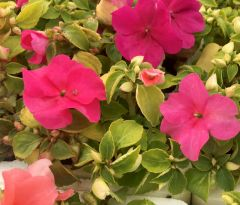 Busy Lizzie (Impatiens) Xtreme Mixed