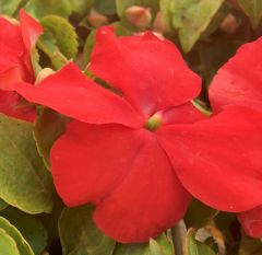 Busy Lizzie (Impatiens) Xtreme Red