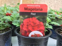 Magelana Red Trailing Verbena