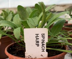 Spinach Harp - multiple seeds