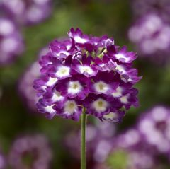 Lanai Cyclops Purple Upright Verbena