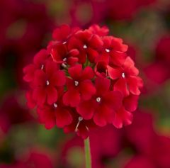Lanai Deep Red Upright Verbena