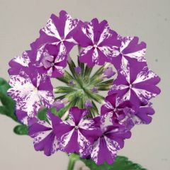 Lanai Purple Star Upright Verbena