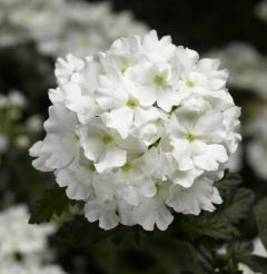 Lanai White Upright Verbena