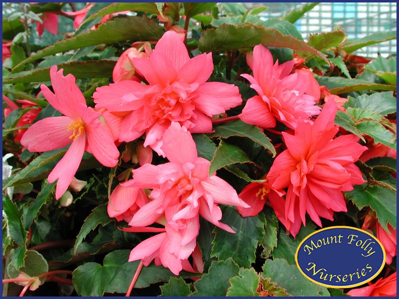 Tenella Pink