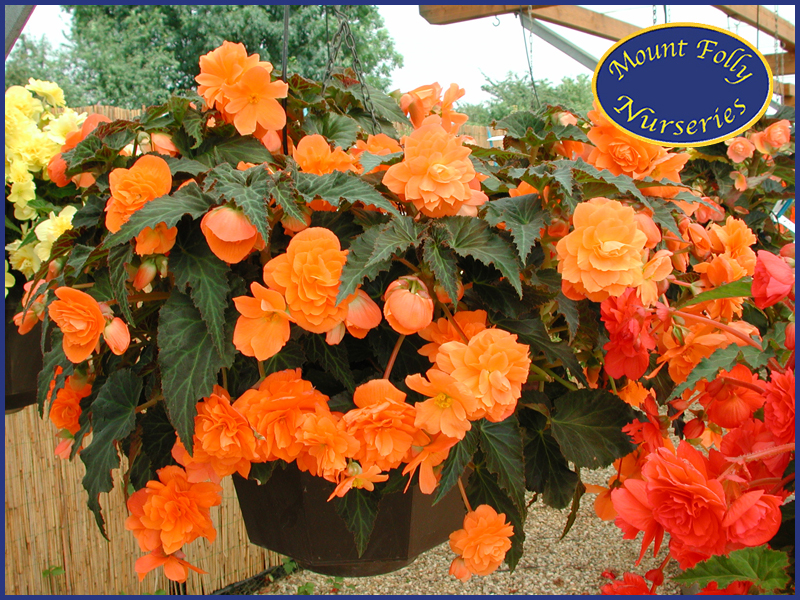 Trailing Begonias Mount Folly Nurseries