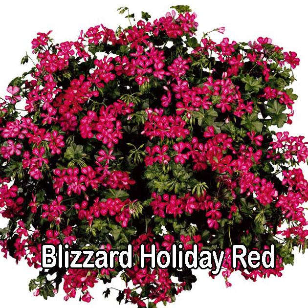 Blizzard Red Bicolour
