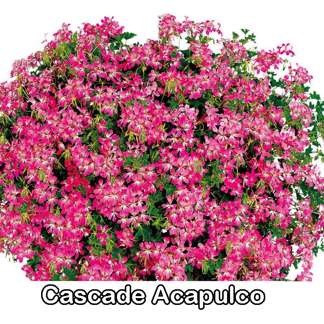 Cascade Rose