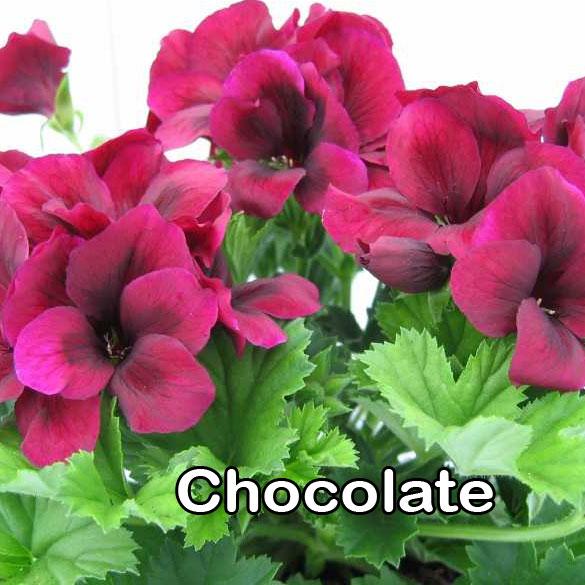 Regalia Chocolate