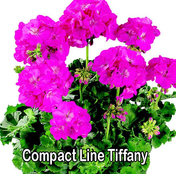 Compact Line Tiffany