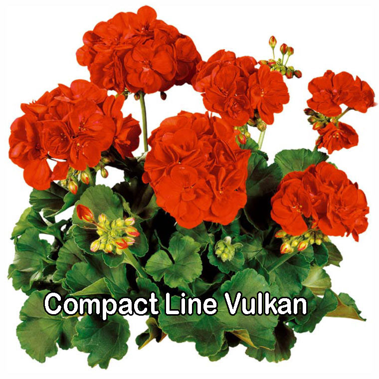 Compact Line Vulkan