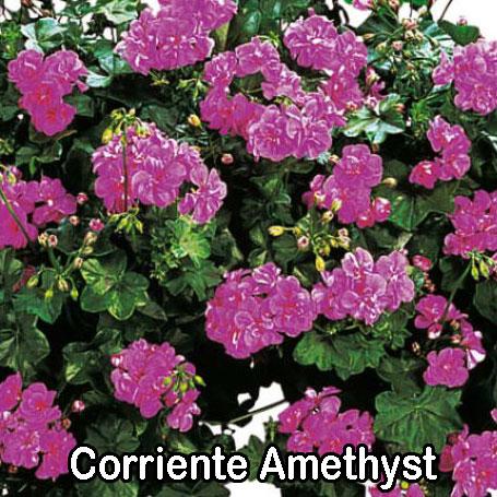 Corriente Amethyst