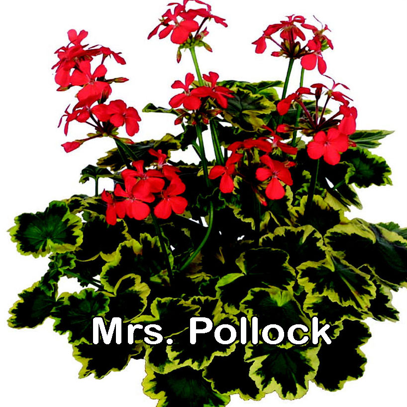Mrs Pollock