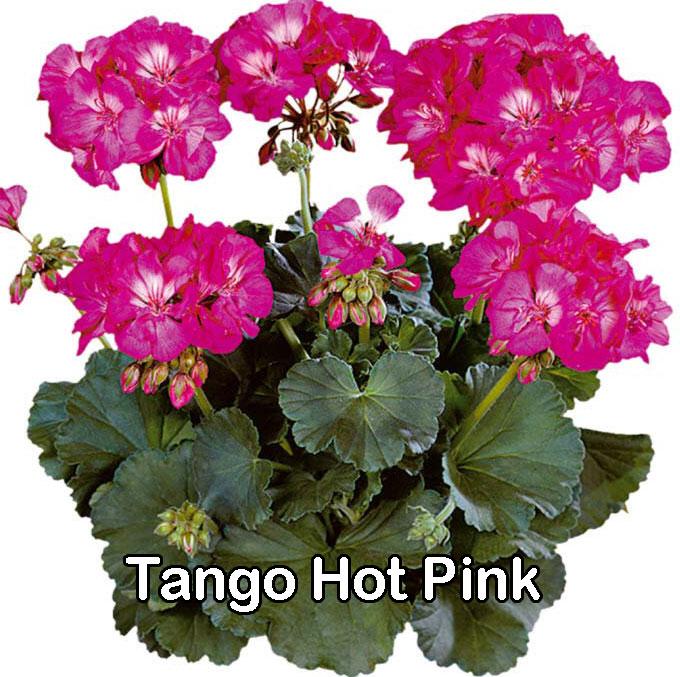 Tango Rose Splash