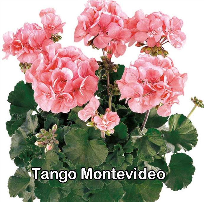 Tango Montevideo