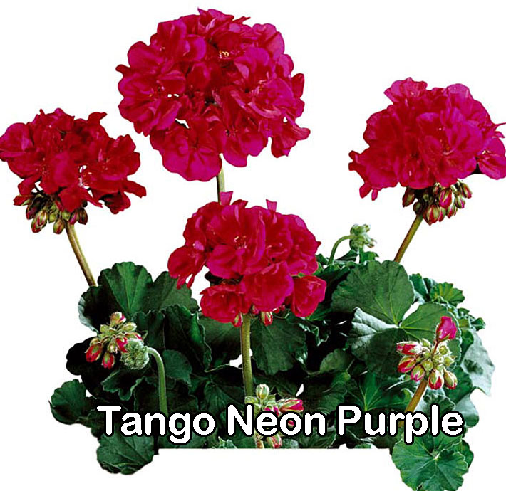 Tango Neon Purple