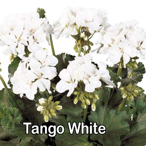 Tango White