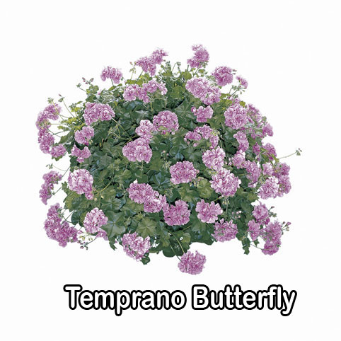 Temprano Butterfly