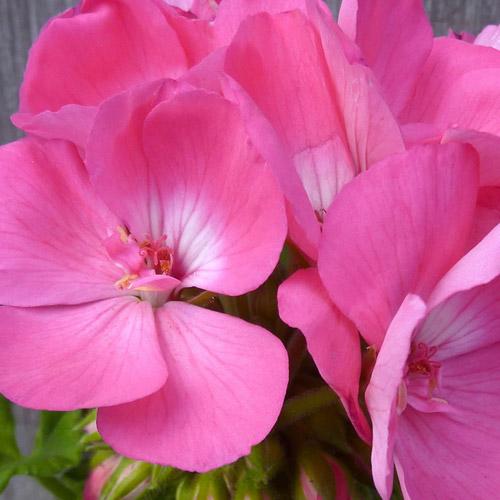 Americana Pink