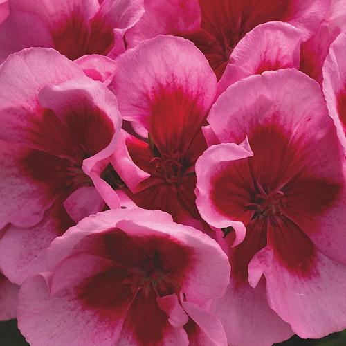 Calliope Hot Rose