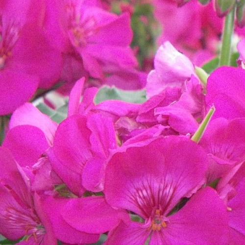 Calliope Lavender Rose
