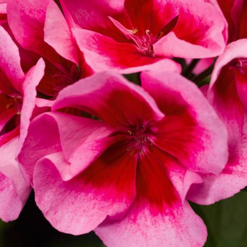 Calliope Rose Splash