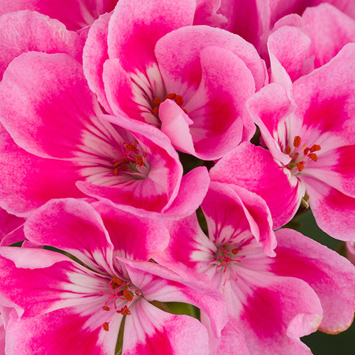 Americana Light Pink Splash